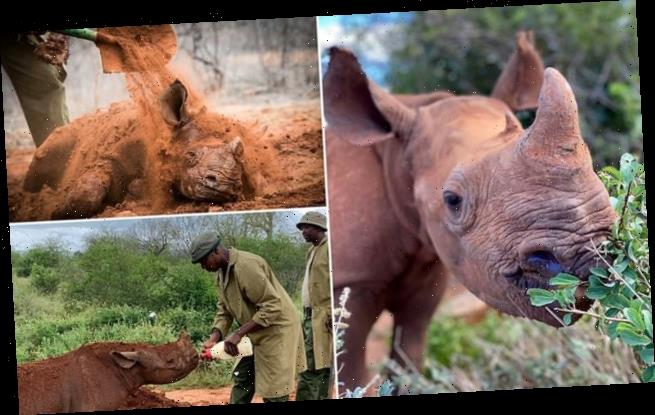 Orphaned baby rhino treated to mud baths and belly rubs after rescue