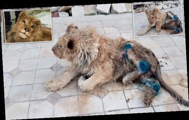 Lion cub's legs broken to stop it escaping tourists posing for photos