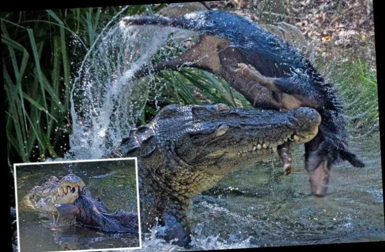 Giant crocodile sends helpless pig flying through the air before ripping it in HALF in brutal ambush