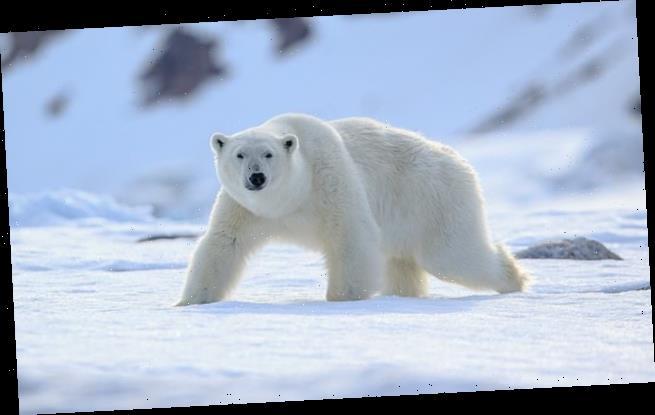 Polar bear mauls a man to death at Norwegian camp site