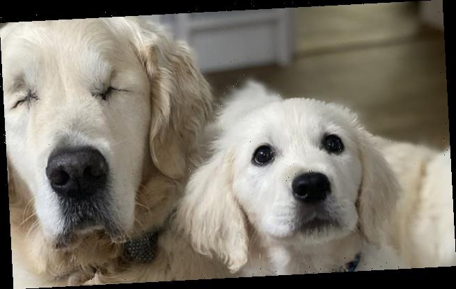 Blind golden retriever, Tao, gets his own guide dog puppy