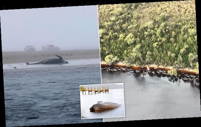 70 whales saved but hundreds dead in Australia's worst mass stranding