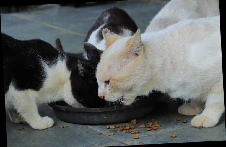 You gotta be kitten me: Study says cats are not fed enough times