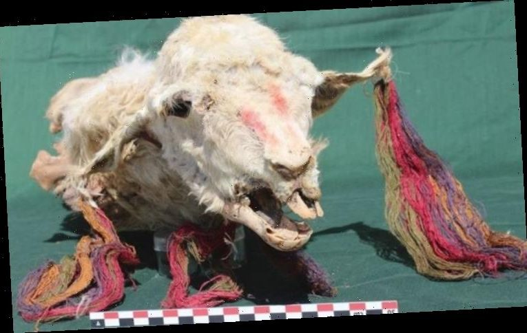 Archaeology news: Sacrificed llamas discovered buried ALIVE in Inca ritual