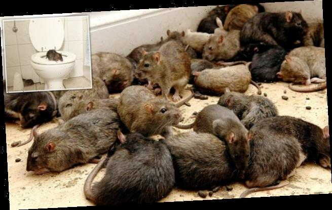 Rats are invading UK homes through toilets after breeding soared