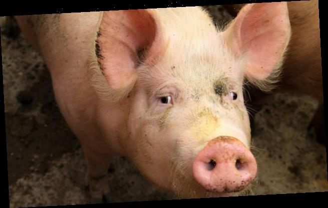 Coronavirus strain that causes diarrhoea in pigs may spread to humans
