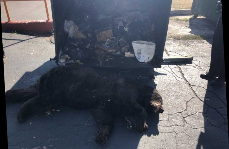 400-pound bear found sick in Colorado restaurant's dumpster has to be 'humanely euthanized'