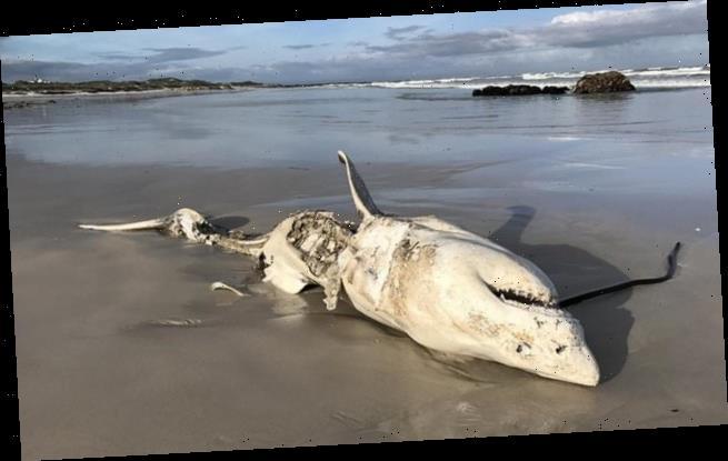 Killer whales blamed for vanishing great white sharks off Cape Town