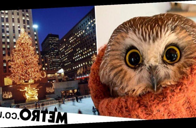 Tiny owl found in New York Rockefeller Centre Christmas tree