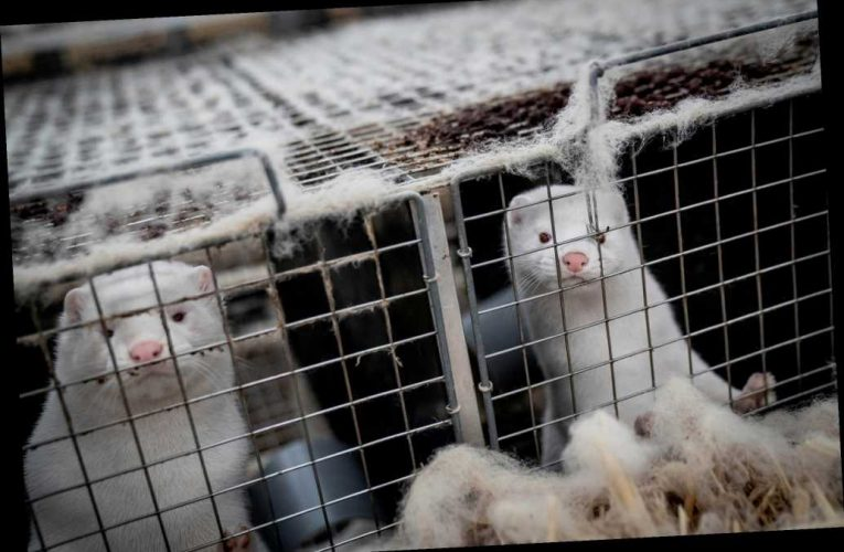 Sweden mink industry workers test positive for COVID-19 amid mutant outbreak