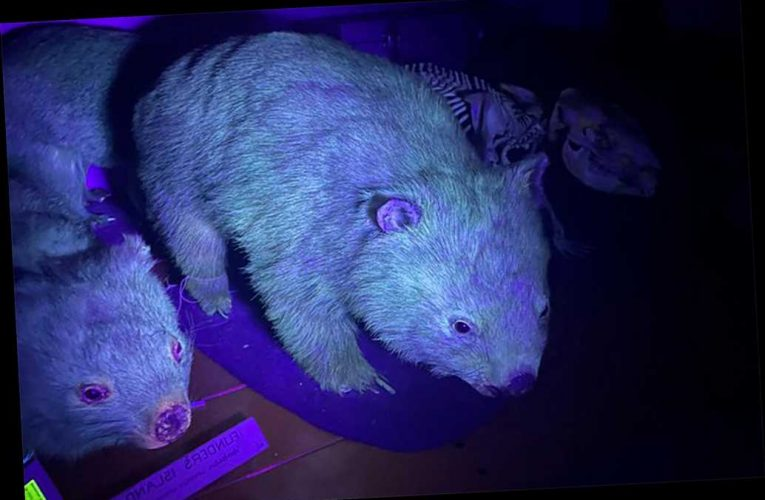 Australian scientists surprised to discover wombats glow under UV light