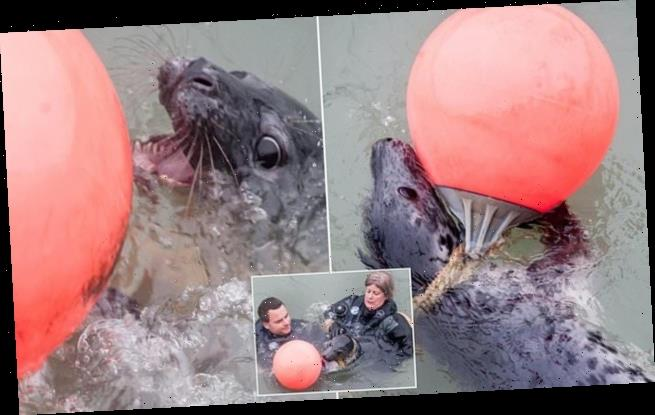 Young seal which got tangled in rope attached to buoy is rescued