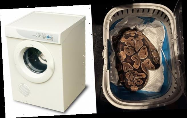 Family find royal python inside their tumble dryer