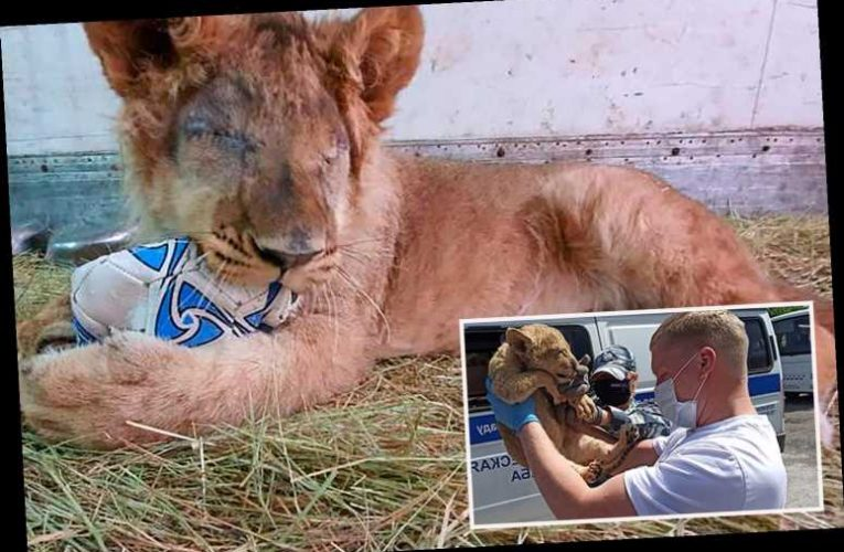 Tragic lion cub forced to have both its eyes removed after horrific cruelty by big cat smugglers