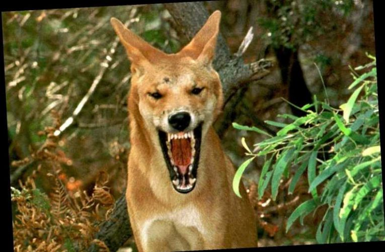 What does 'A dingo ate my baby' mean and where does it come from?