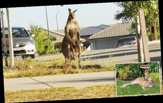 Well that's not your usual neighbour! See these HUGE Canberra roos