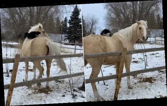 Rodeo cat: Hilarious moment moggy hitches a ride on pony's back