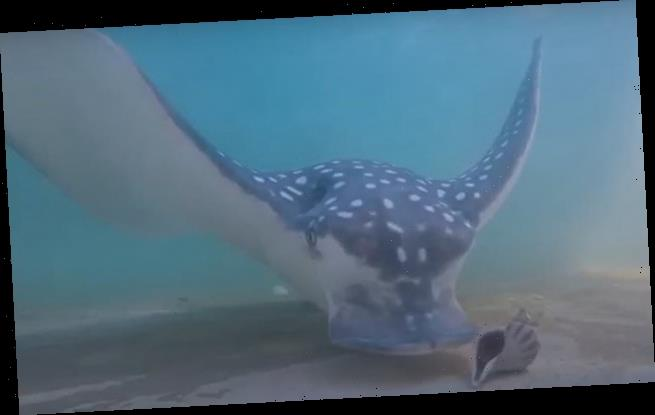 Scientists record the shell-crushing sounds of a ray eating shellfish