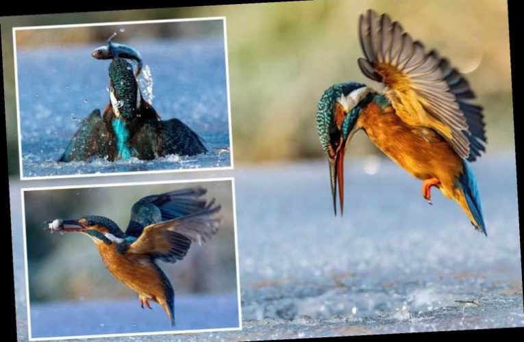 Kingfisher plunges into frozen lake to catch a fish in stunning snaps