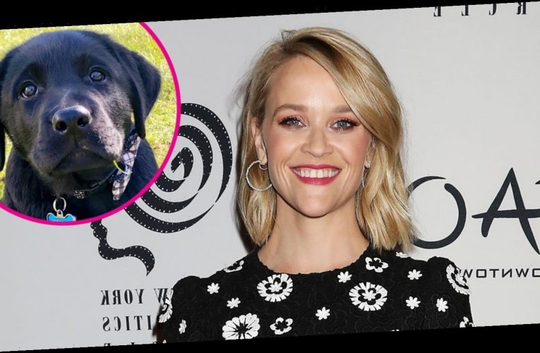 Reese Witherspoon Welcomes New Labrador Puppy to Her Family