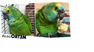 Parrot too fat to fly after eating too many crisps slims down and soars again