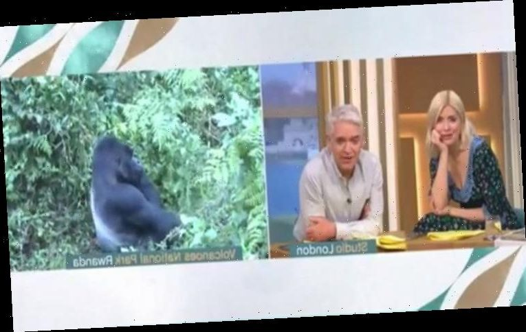 Gorilla family cam LIVE in Rwanda causes sensation on This Morning 'Incredible'