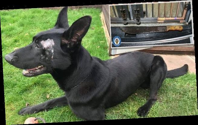 Police dog returns to duty after attack which nearly took out its eye