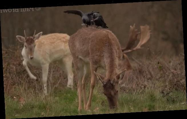 Gang of cheeky jackdaws steal clumps of hair from deer in London park