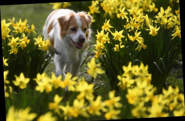 How to say happy St David's Day in Welsh and how to pronounce hapus Dydd Gŵyl Dewi correctly