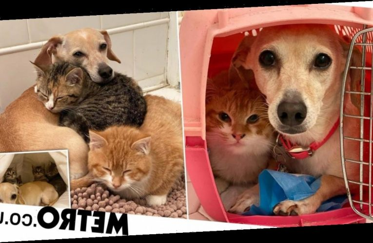 Dog helps owner care for foster kittens with cuddles, grooming and playtime