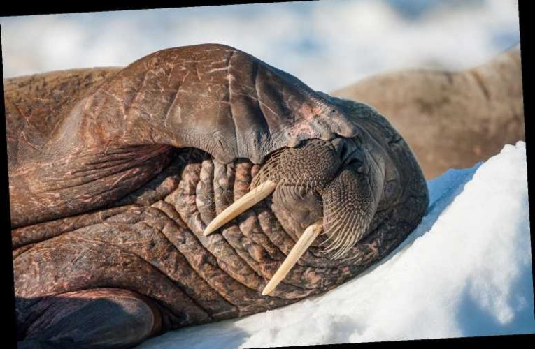 Arctic Walrus Turns Up in Ireland, Likely Floated There Accidentally While Napping on an Iceberg