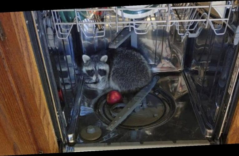 Ohio man calls police after raccoon 'ransacked' kitchen, hid in dishwasher