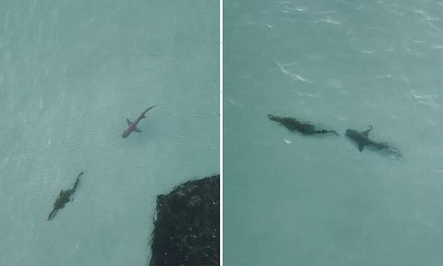 Crocodile and a shark face off in crystal clear water in the Top End