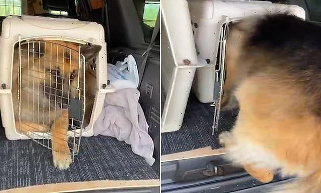 Hilarious moment German Shepherd squeezes into puppy's carrier