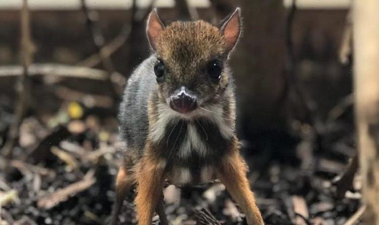 Tiny mouse deer born at Bristol Zoo is height of a pencil – adorable pictures and video