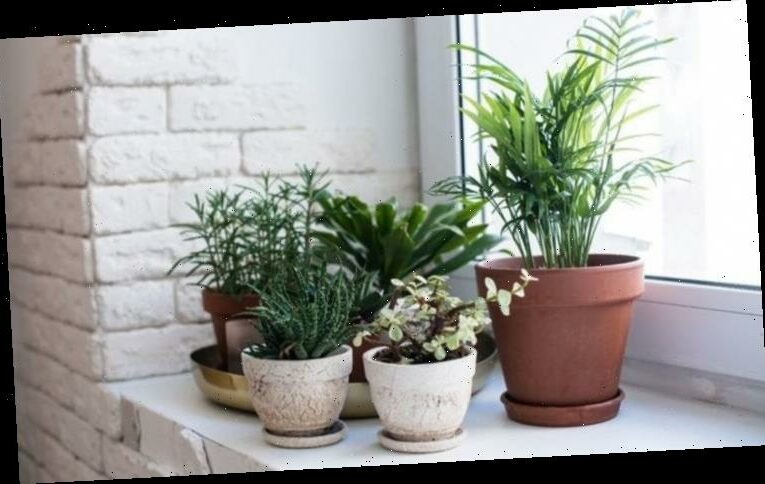 Are houseplants good for you? The FOUR major mental and physical health benefits
