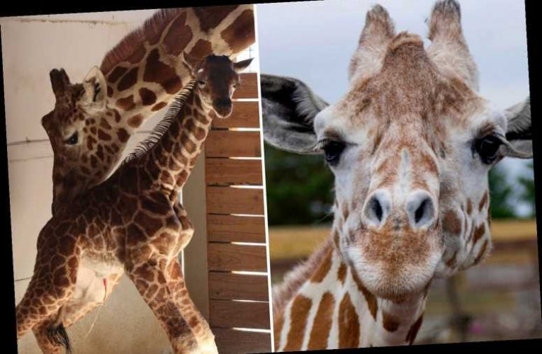 April the Giraffe dies aged 20 four years after her pregnancy went viral and MILLIONS tuned in to watch her give birth