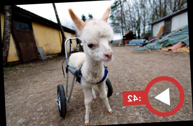 Orphaned baby alpaca walks again with her own set of wheels