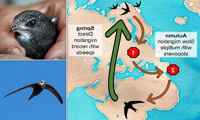 Swifts fly faster and futher than previously thought, scientists say