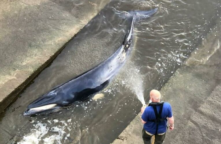 Whale stranded in Thames as crowds watch mammal 'trapped in Richmond lock'