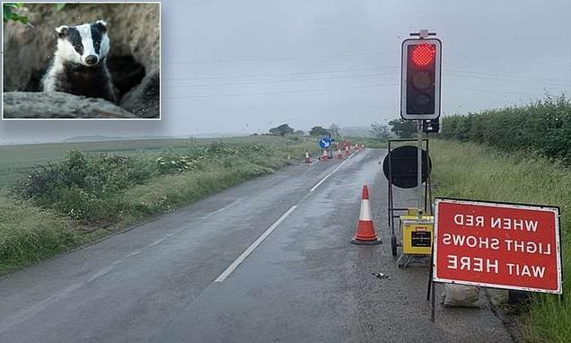 Badgers cause traffic chaos after council brings in temporary lights