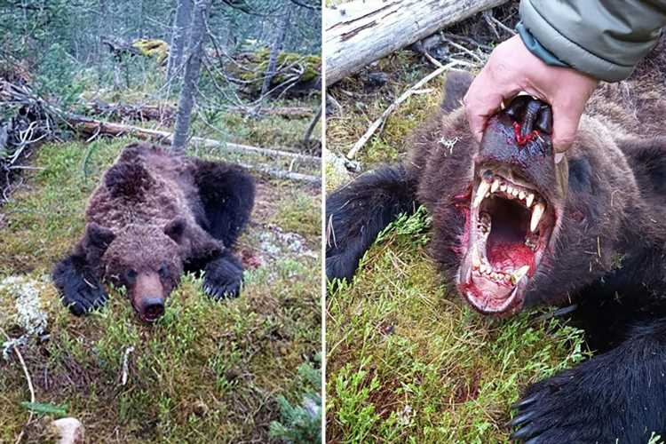 Brown bear eats boy, 16, & savages tourists who stabbed beast several times before he is shot dead near campsite