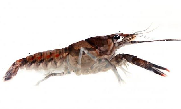 Crayfish take more risks while on antidepressants, study shows