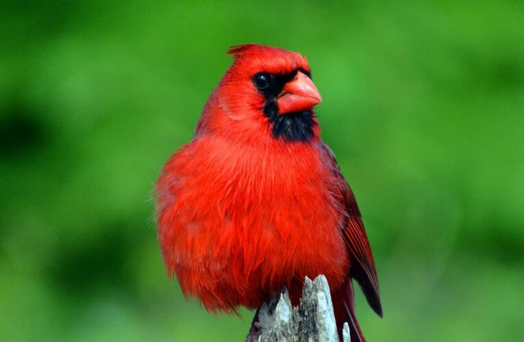 Here's What It Really Means When You See A Cardinal