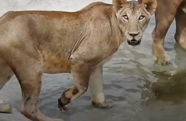 Majestic lioness dies of Covid at Indian zoo where eight other big cats have tested positive for the killer virus