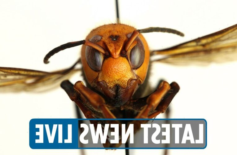 Murder hornet 2021 – Insect found near Seattle, Washington in first sighting of year as experts warn of 'serious danger'