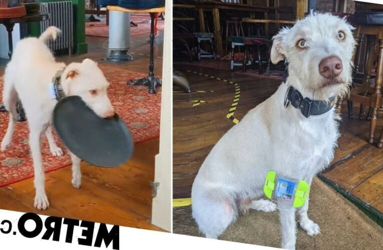 Adorable pub dog Begbie serves punters and even has a bouncer's badge