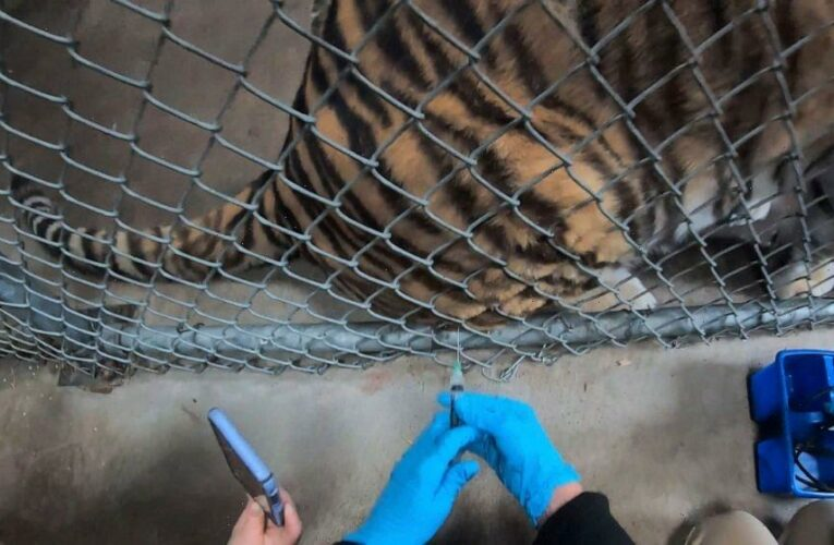 Big cats, bears, ferrets get COVID-19 vaccine at Oakland Zoo