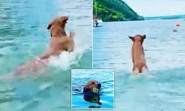 Golden retriever leaps through water like a dolphin as he fetches ball