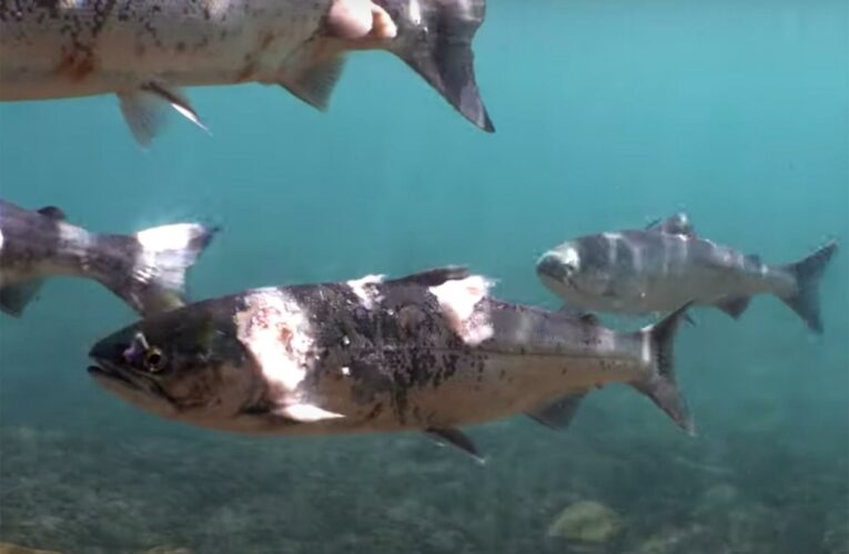 Shocking video shows salmon scorched by Northwest heat wave